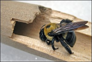 Are You Looking For Carpenter Bees Treatment While Not Quite As Destructive Termites Keeping Them Out Of Your Home And Wood Is Still