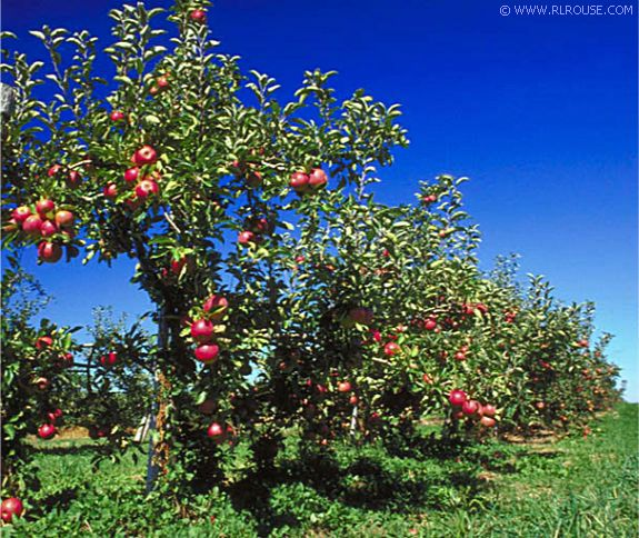 apple tree. Apple trees hanging full with