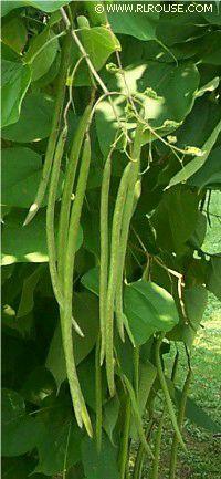 Mom S Bean Tree