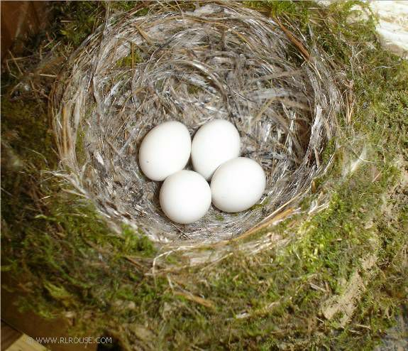 momu002639s bird nest before u0026amp after birds eggs 575x494