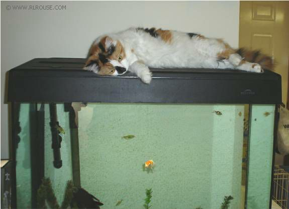 Cat on a fish tank