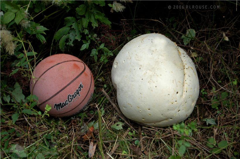 The largest mushroom I've ever seen.