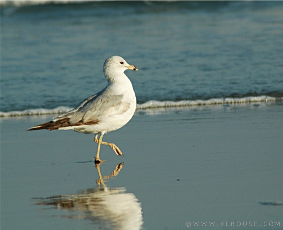 A Marching Seagull At Myrtle Beach Sc