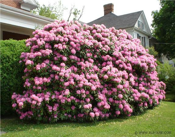 Spectacular rhododendrons in abingdon virginia for Large flowering shrubs