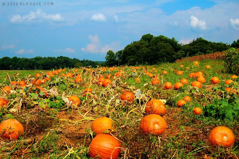 Ripe pumpkins lying in a field in Shady Valley, Tennessee.