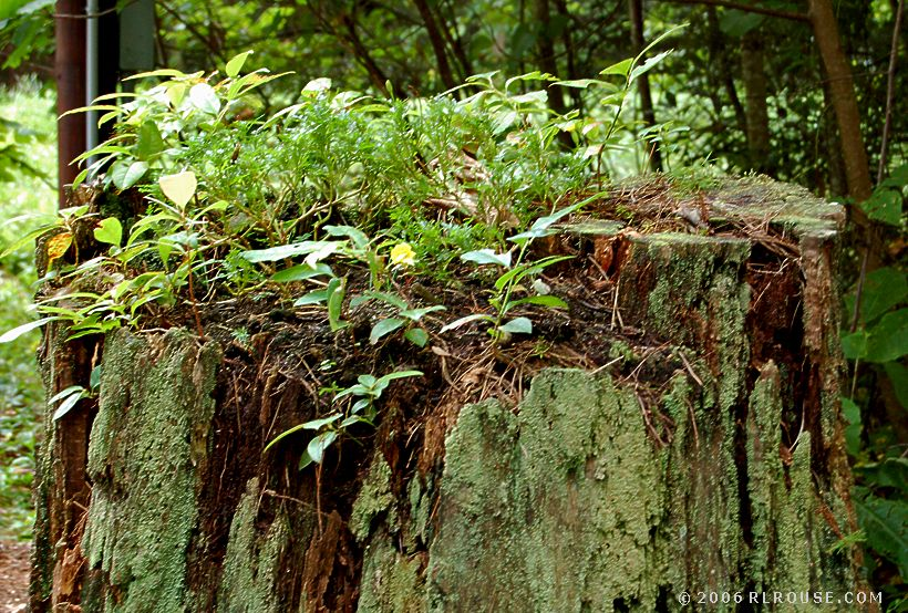 "Closeup view of the ""stump planter"" at Backbone Rock."